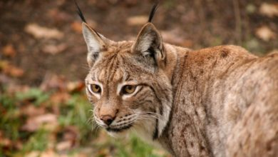 Photo of La lince europea